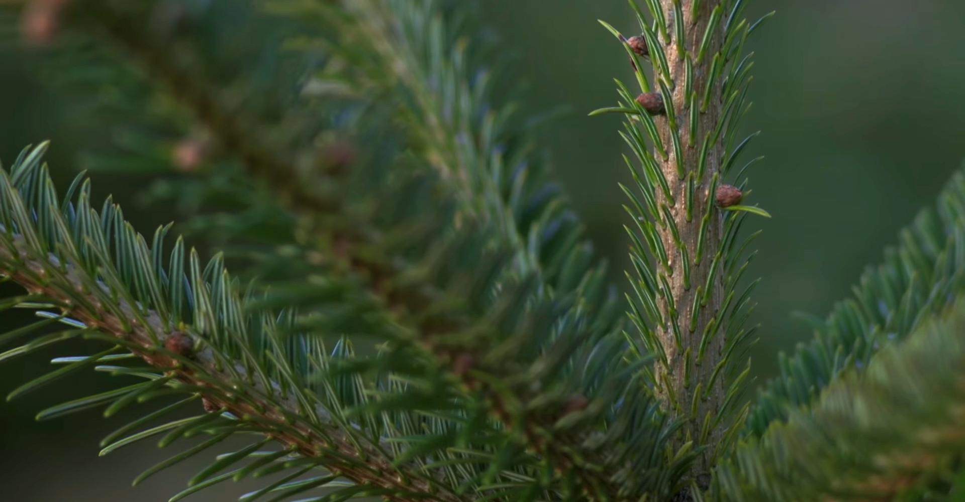 De mooiste Nordmann Excellent kerstbomen in Hillegom vanaf € 15,-