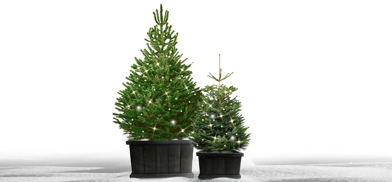 Nordmann kerstboom in kist met verlichting voor buiten bestellen in Hillegom